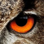 owl-50267_1280-eye-right